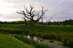 Grande árvore antiga velha com ramos curvados no campo, Norfolk, Reino Unido imagens de stock