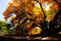 Grande árvore com folhas amarelas fotos de stock