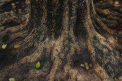 A grande árvore cresce com o formulário das raizes espalhadas ao redor imagem de stock