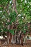 Grande árvore de Banyan velha em um lote vago em Lahaina em Maui fotografia de stock
