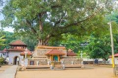 A grande árvore de Bodhi Foto de Stock