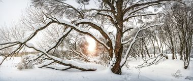 Grande árvore de espalhamento no banco do rio Imagens de Stock Royalty Free