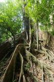 Grande árvore de figo Imagem de Stock Royalty Free