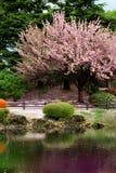 Grande árvore desobstruída da flor de cereja Fotos de Stock