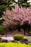 Grande árvore desobstruída da flor de cereja imagem de stock royalty free