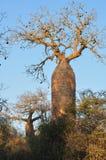 Grande árvore do baobab que está em Madagáscar Imagem de Stock