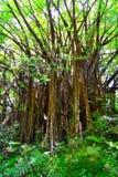 Grande árvore em uma floresta úmida Foto de Stock