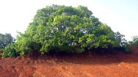 Grande árvore expandida ao lado da lagoa na vila Fotos de Stock Royalty Free