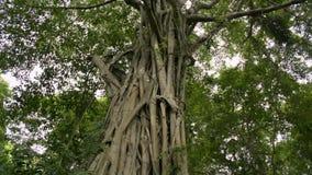Grande árvore na floresta tropical tropical, árvore de banyan enorme video estoque