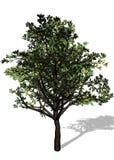Grande árvore no fundo branco Fotografia de Stock Royalty Free