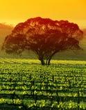 Grande árvore no vinhedo Foto de Stock Royalty Free