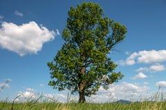 Grande árvore só contra um céu azul com nuvens brancas Imagem de Stock