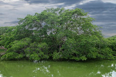 A grande árvore tem a abundância no meio do rio Imagens de Stock Royalty Free