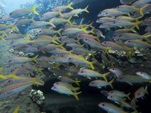 Grande école de fin de Goatfish de truite saumonnée  images libres de droits