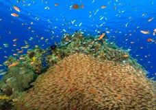 Grande école de Glassfish sur un récif coralien Photos libres de droits