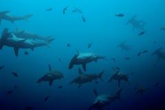 Grande école des requins de poisson-marteau dans le bleu Photo libre de droits