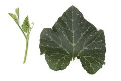 Grande abóbora da folha, a vida da árvore da polpa da abóbora isolada no fundo branco imagem de stock