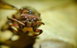 Grande abeille Photographie stock