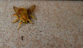 Grande abelha amarela Imagem de Stock