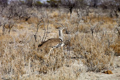 Grande abetarda, kori de Ardeotis, no arbusto Namíbia Foto de Stock Royalty Free