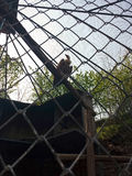Grande abutre de griffon Imagem de Stock Royalty Free