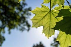 Grande acero delle foglie di colore verde Fotografia Stock