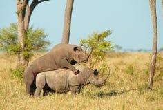 Grande acoplamento do rinoceronte dois branco Fotos de Stock