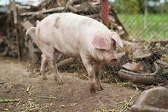 Grande agriculture de porc domestique Photos stock