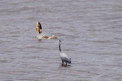 Grande airone blu che guarda una carpa dorata saltare del lago fotografie stock libere da diritti