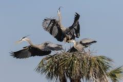 Grande airone blu nella palude di Florida immagine stock libera da diritti