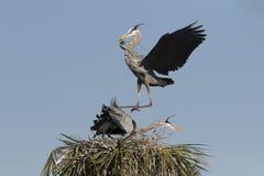 Grande airone blu nella palude di Florida fotografia stock libera da diritti
