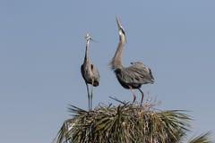 Grande airone blu nella palude di Florida fotografie stock libere da diritti