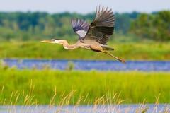 Grande airone blu - volando nei laghi e nelle zone umide nell'area della fauna selvatica dei prati del Crex fotografia stock