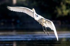 Grande airone in volo Fotografia Stock