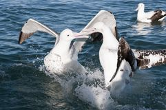 Grande albatro Fotografia Stock Libera da Diritti