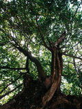 Grande albero Immagine Stock