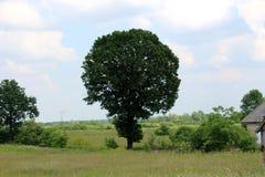 Grande albero alto con le foglie dense circondate con alta erba non tagliata Immagine Stock