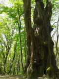 Grande albero antico nella foresta di primavera Fotografie Stock