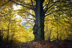 Grande albero in autunno Fotografia Stock Libera da Diritti