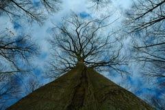 Grande albero - cima d'albero Immagini Stock
