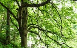Grande albero con fogliame verde Fotografia Stock