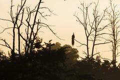 Grande albero con il backgro rosso di seduta del cielo di alba della siluetta del pavone Fotografia Stock Libera da Diritti