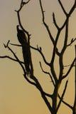 Grande albero con il backgro rosso di seduta del cielo di alba della siluetta del pavone Immagini Stock Libere da Diritti