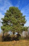 grande albero conifero Fotografia Stock Libera da Diritti