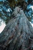 Grande albero crescente in foresta pluviale sull'isola del sud della Nuova Zelanda, vista di angolo basso fotografie stock