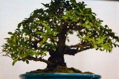 Grande albero dei bonsai dell'acero giapponese fotografia stock libera da diritti