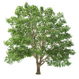 Grande albero del basswood isolato Fotografia Stock