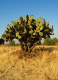 Grande albero del cactus Immagine Stock Libera da Diritti