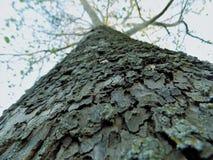 Grande albero del ` di Ol Fotografia Stock