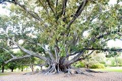 Grande albero del Ficus Immagini Stock